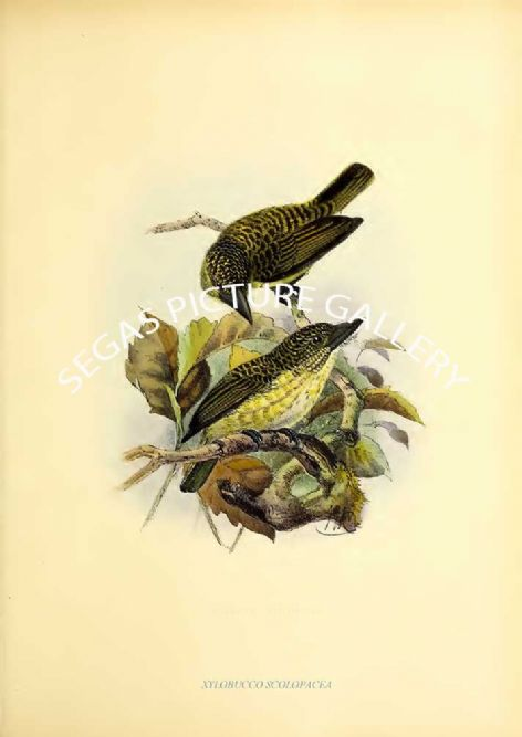 Fine art print of the XYLOBUCCO SCOLOPACEA by J G Keulemans (1871)